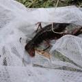 【ひまわり組】たくさんザリガニを釣ったよ!