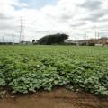 芋掘り遠足の下見