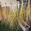 【食育】稲の収穫に挑戦!